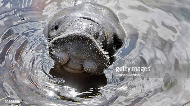 Lil' Joe a wayward manatee rescued by Florida Fish and Wildlife Conservation Commission Sea World and Sea to Shore on Thursday September 27 from the...