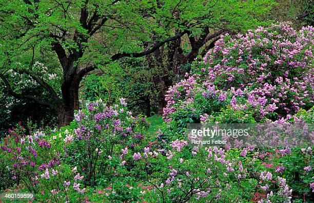 Lilac at Arnold Arboretum