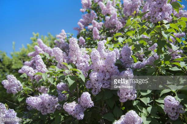 lilac blossom background - purple lilac stock pictures, royalty-free photos & images