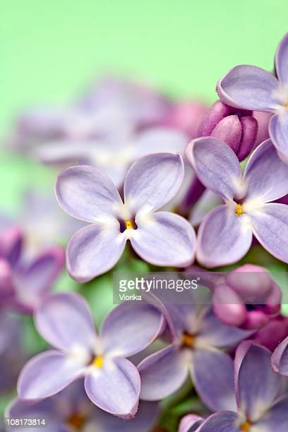 lilac blossom - purple lilac stock pictures, royalty-free photos & images