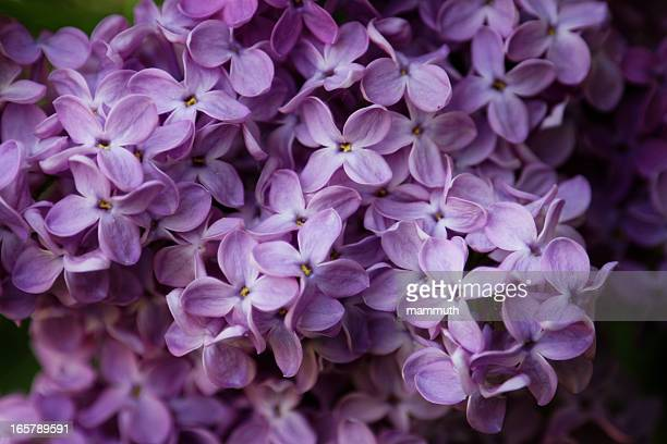 lilac blossom - may stock pictures, royalty-free photos & images
