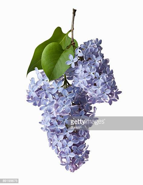 Lilac botanical