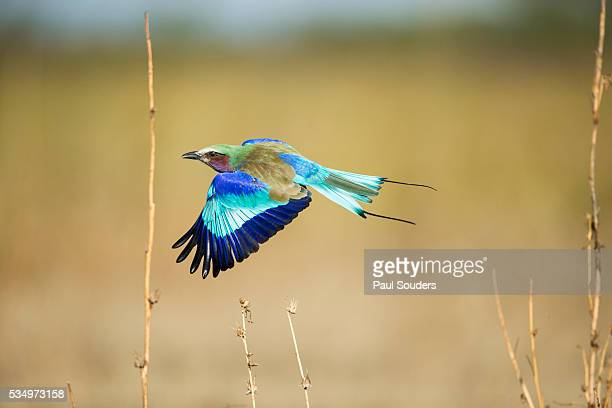 lilac breasted roller, chobe national park, botswana - wildlife reserve stock photos and pictures