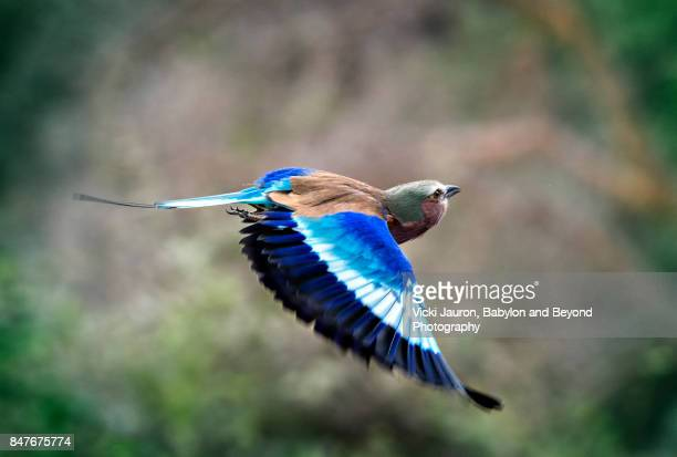 Lilac Breasted Roller in Flight at Amboseli, Kenya