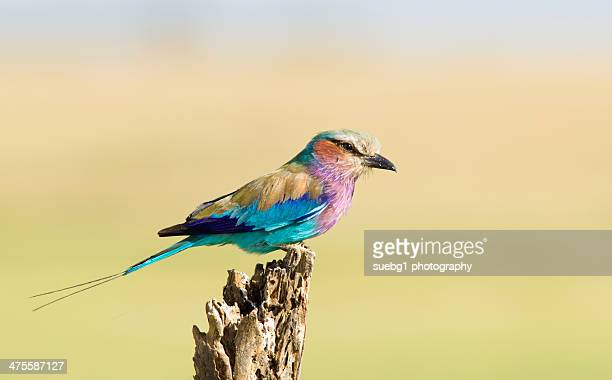 Lilac breasted roller perched