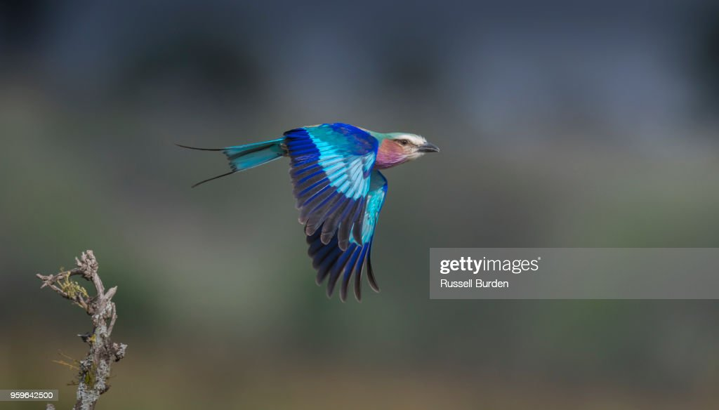 Lilac Breasted Roller : Stock-Foto