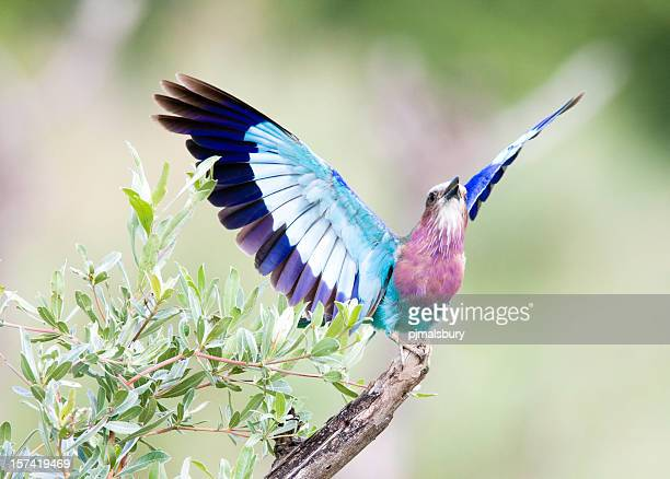 lilac breasted roller taking off - okavango delta stock pictures, royalty-free photos & images