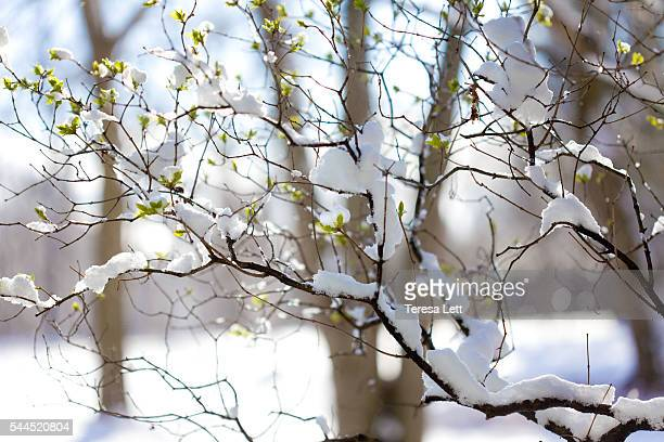 Lilac buds with snow