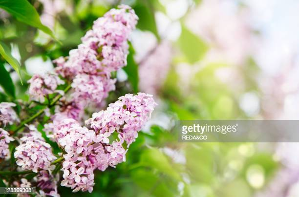 Lilac bush over sky background. Lilac flowers in garden. Nature background, copy space.
