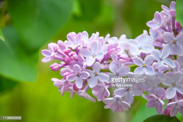 lilac flower - purple lilac stock pictures, royalty-free photos & images