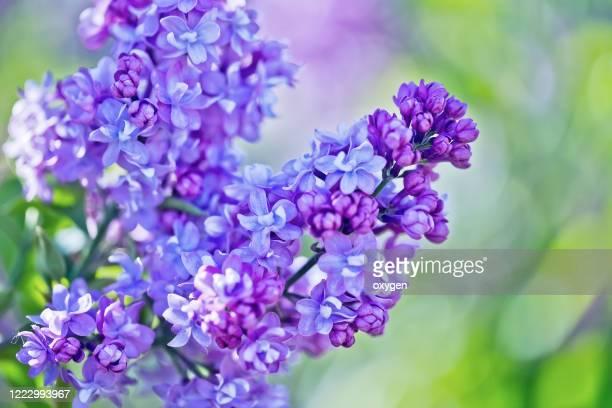 lilac flowers (syringa vulgaris) bush in the spring garden blooms with green background - mazzi fiori di campo foto e immagini stock