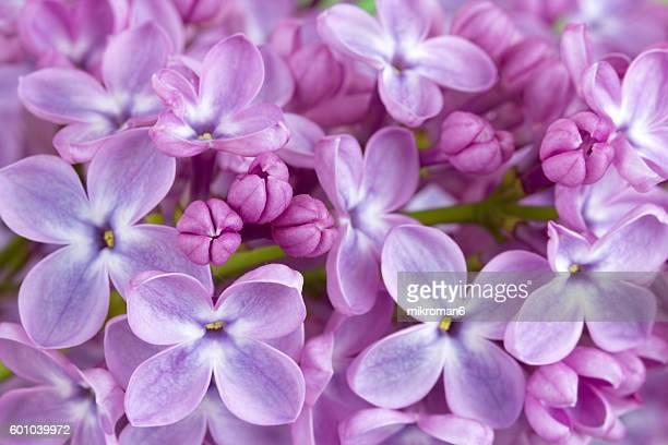 lilac flowers close up - ライラック ストックフォトと画像