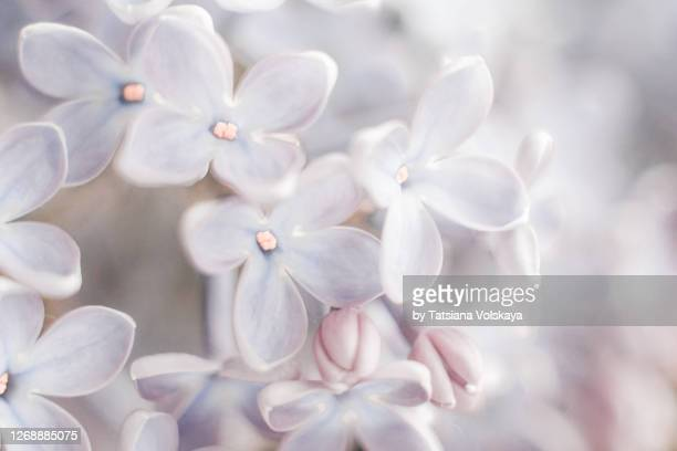 lilac flowers close-up background - ライラック ストックフォトと画像