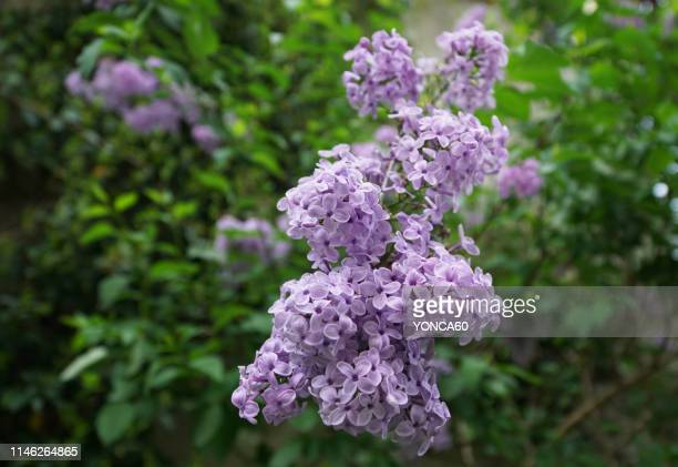 lilac flowers - ライラック ストックフォトと画像