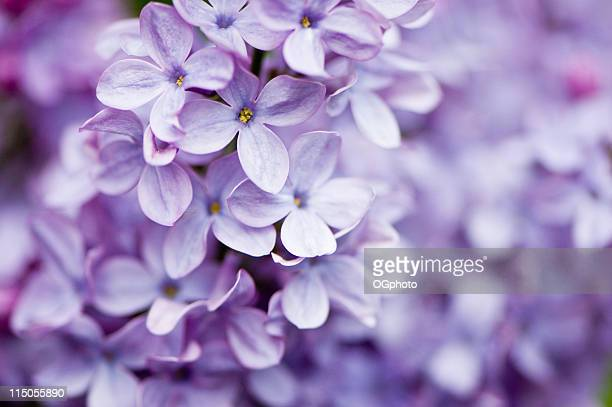 lilac flowers - purple stock pictures, royalty-free photos & images