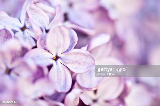 lilac flowers - purple lilac stock pictures, royalty-free photos & images