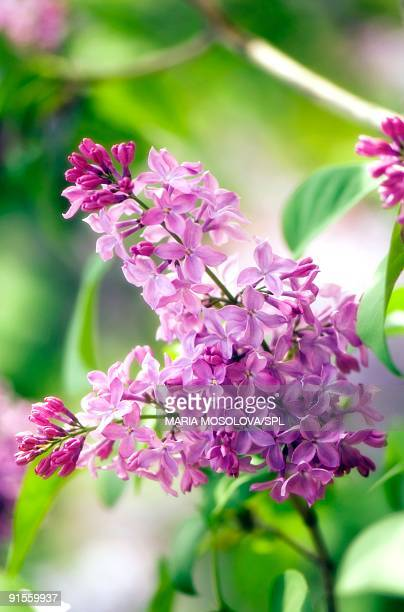 Lilac (Syringa vulgaris) flowers