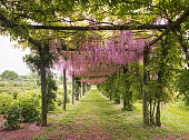 Lilac flowers tunnel
