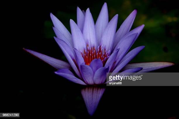 Lilac folds