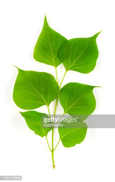 lilac green leaves isolated on white background - arrangement stock pictures, royalty-free photos & images