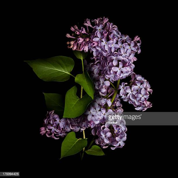 lilac isolated on black background - purple lilac stock pictures, royalty-free photos & images
