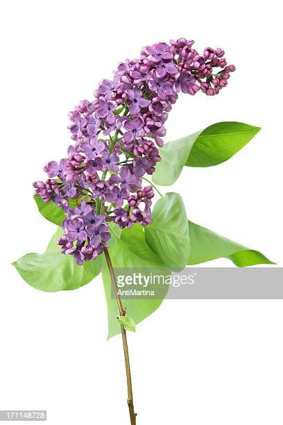 lilac (syringa) isolated on white - purple lilac stock pictures, royalty-free photos & images