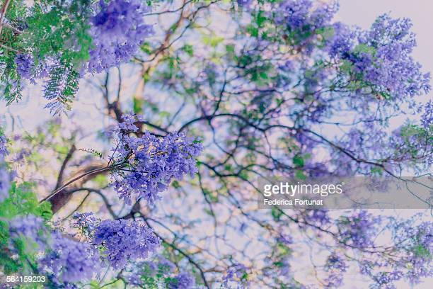 Lilac Jacaranda tree in bloom