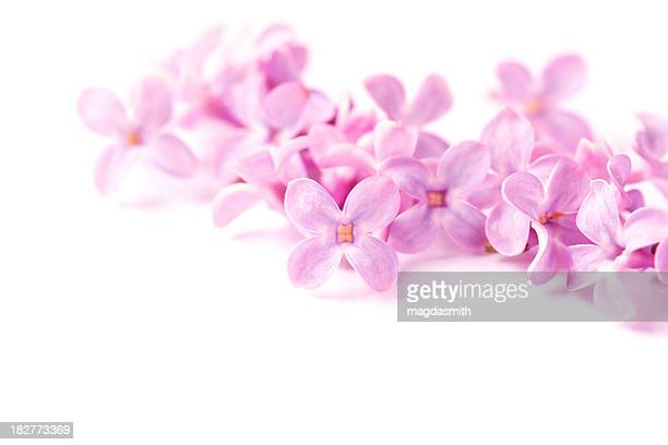 lilac on white