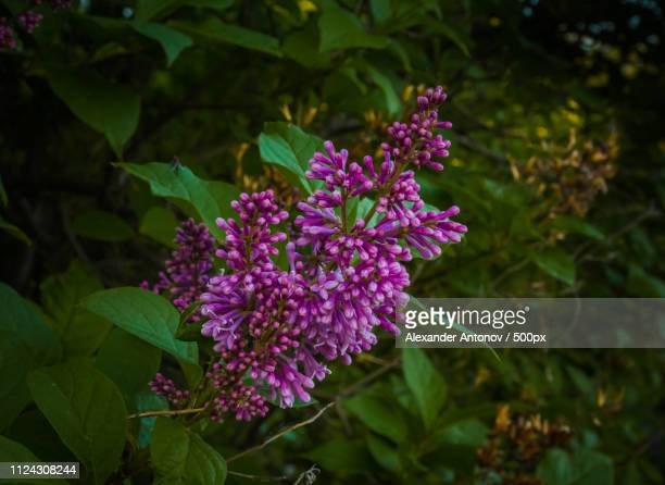 lilac - antonov stock pictures, royalty-free photos & images
