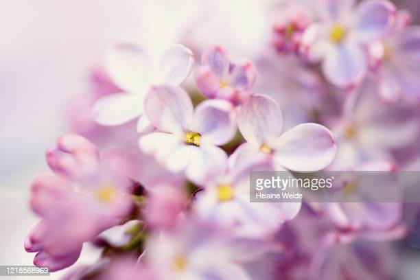 lilac - femininity stock pictures, royalty-free photos & images