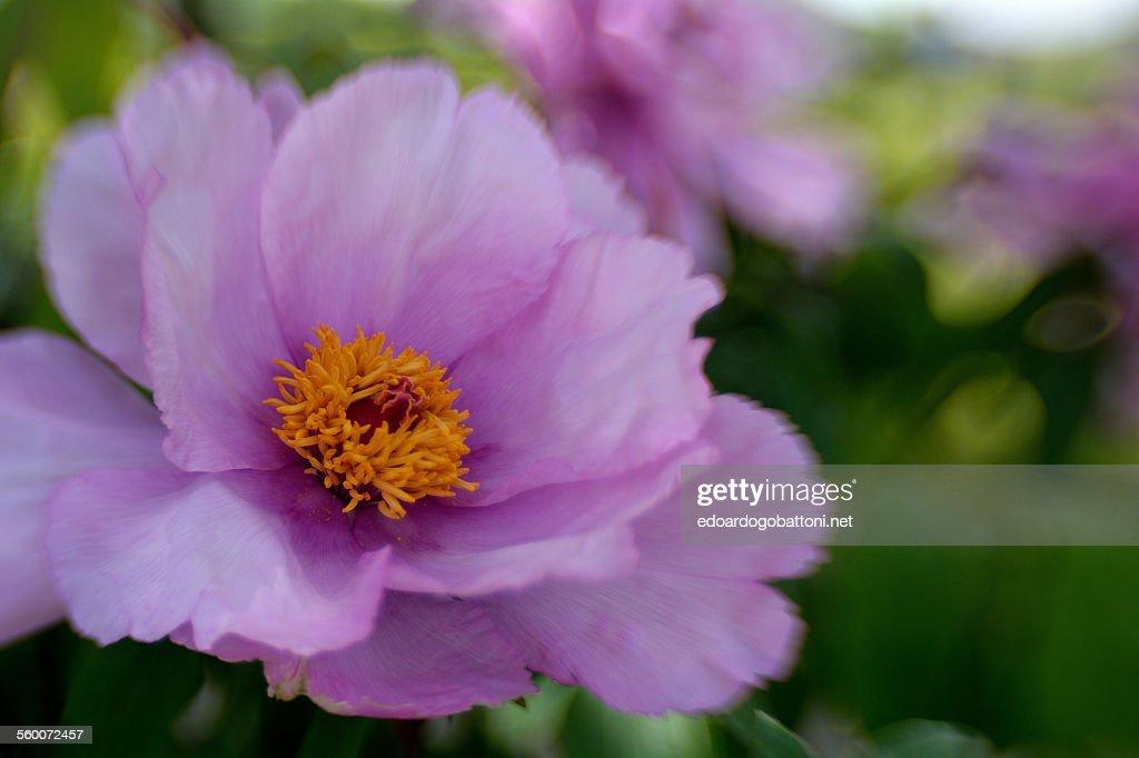 Lilac : Foto stock