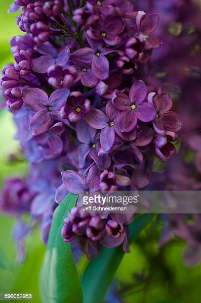 lilac - purple lilac stock pictures, royalty-free photos & images