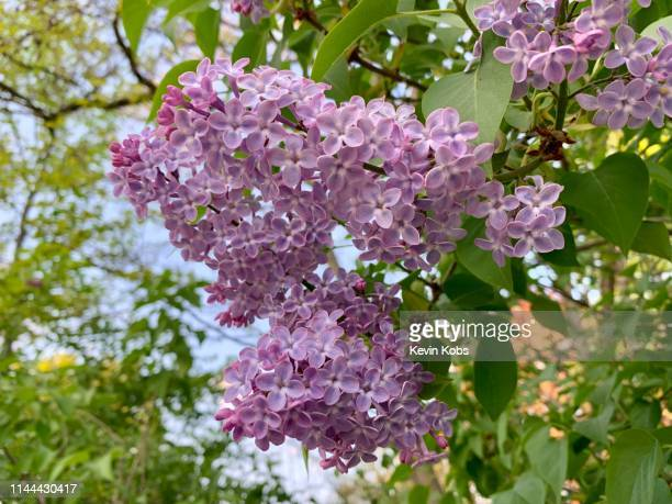 lilac plant (syringa vulgaris) on a bush in landscape format. - purple lilac stock pictures, royalty-free photos & images