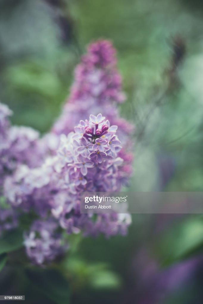 Lilac Splendor : Stock Photo