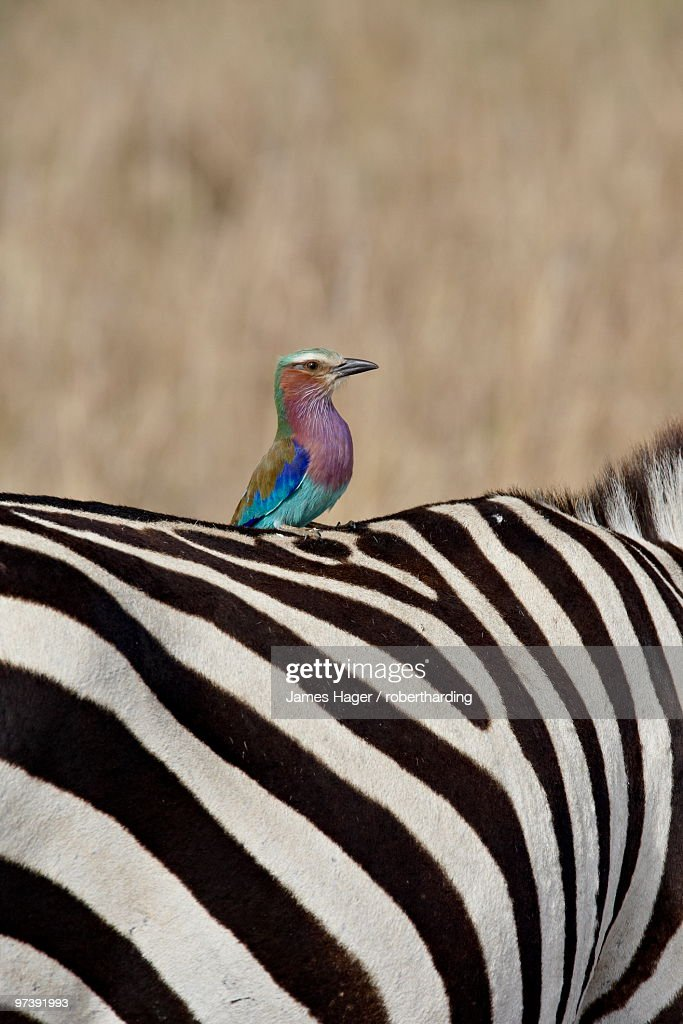 Lilac-Breasted Roller (Coracias caudata) on the back of a Grants Zebra (Plains Zebra) (Common Zebra) (Equus burchelli boehmi), Masai Mara National Reserve, Kenya, East Africa, Africa : Bildbanksbilder