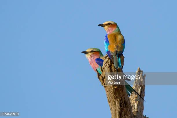 lilac-breasted rollers (coracias caudatus) pair, kruger national park, south africa - dos animales fotografías e imágenes de stock