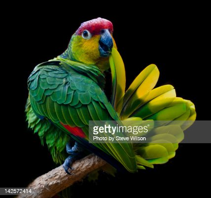 Lilacine amazon parrot isolated on black backgro