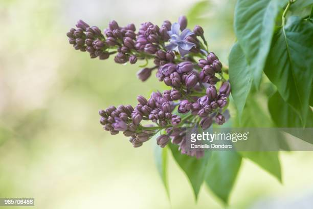 lilacs in bloom, isolated from outdoor background - purple lilac stock pictures, royalty-free photos & images