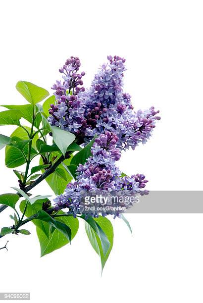 lilacs on white - purple lilac stock pictures, royalty-free photos & images