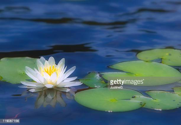 lili pad - water lily stock photos and pictures