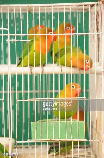 Lilian's lovebirds in a cage