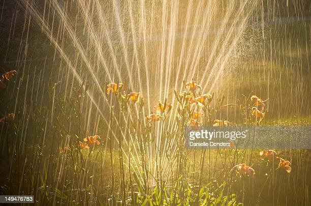 Lilies in the sprinkler