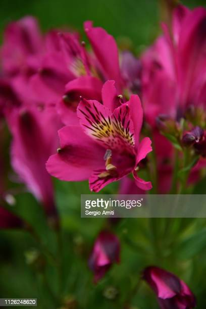 lilies of the incas - alstroemeria stock pictures, royalty-free photos & images