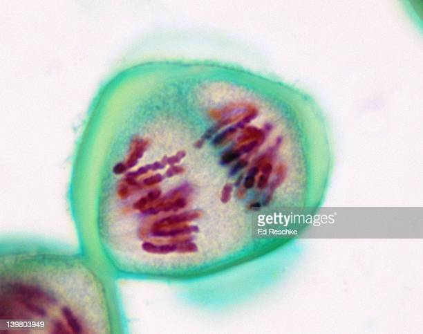 meiosis 1, anaphase (1st division), lilium (lily), 400x at 35mm. chromosomes are migrating toward the poles. - mitose imagens e fotografias de stock