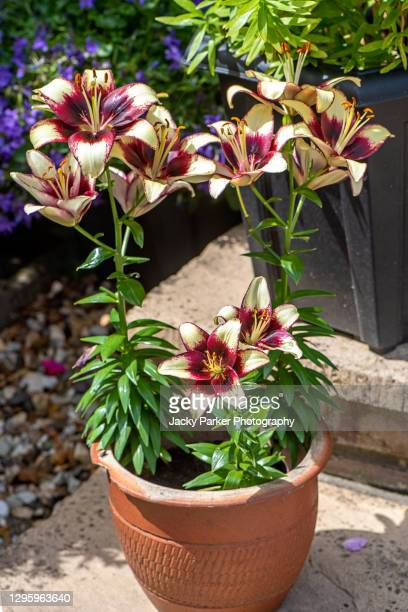 lilium 'black spider' asiatic lily, tango lily 'black spider' flowers in a garden terracotta pot - plant pot stock pictures, royalty-free photos & images