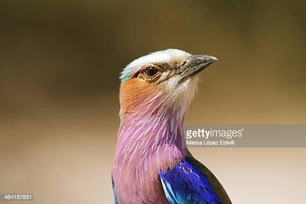 Lillac-breasted roller bird