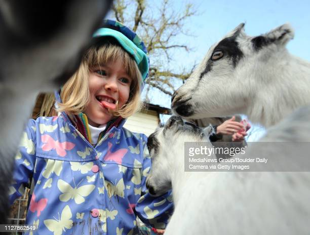 Lilli Jendrass appears to love the attention from the baby goats Mountain Flower Goat Dairy in Boulder held a 'baby goat shower' on Saturday