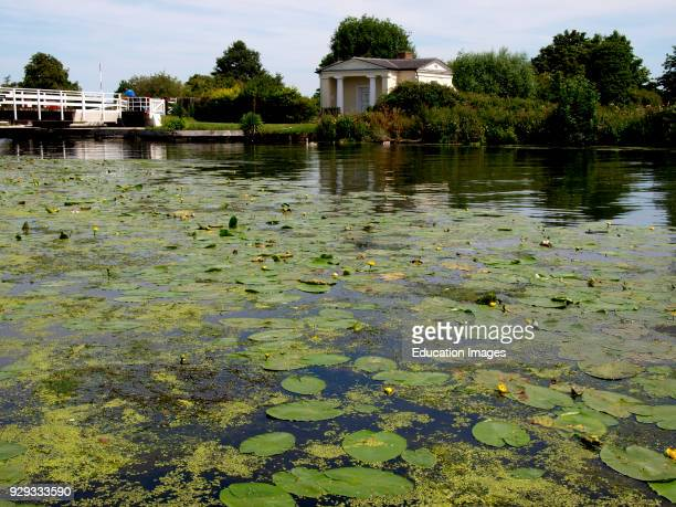 Lillies on the Gloucester and Sharpness Canal at Frampton on Severn Gloucestershire UK