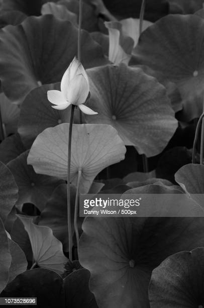 lilly pad blooming - lily wilson stock pictures, royalty-free photos & images