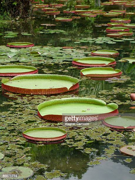 lillypads - botanical garden stock pictures, royalty-free photos & images
